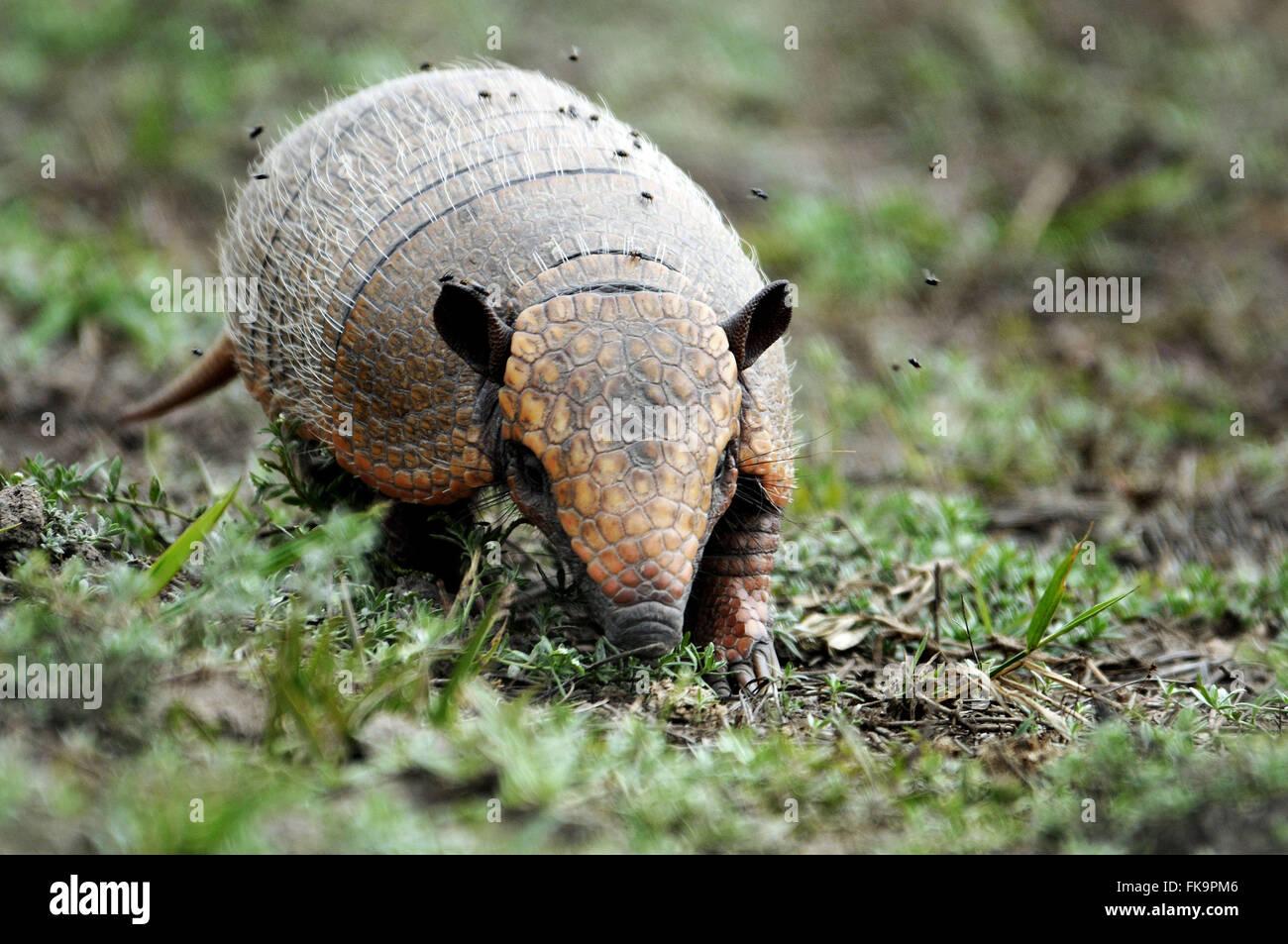 Tatu-peba el Pantanal - Euphractus sexcintus Foto de stock