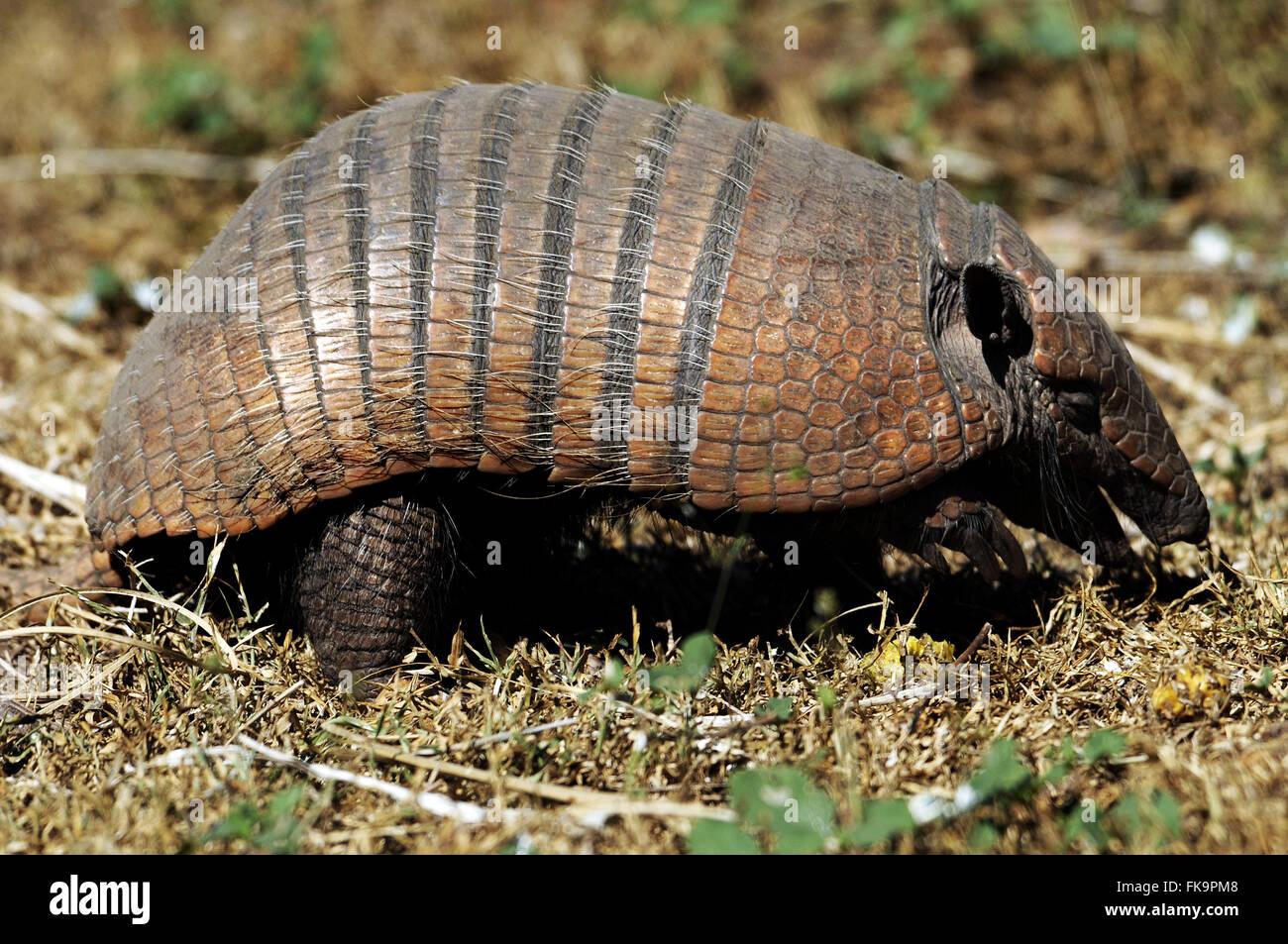 Tatu-peba el Pantanal - Euphractus sexcintus Imagen De Stock
