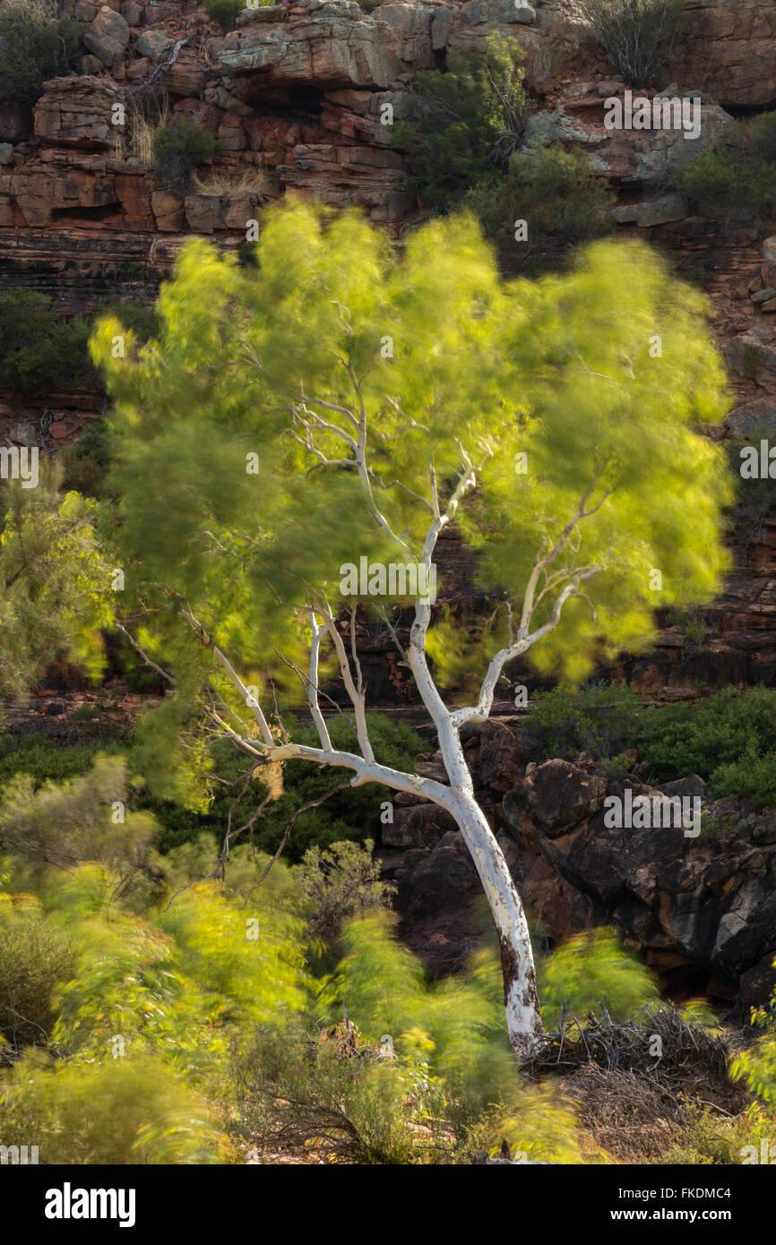 Un árbol de eucalipto en la quebrada del Río Murchison en Ross Graham, Kalbarri National Park, en el oeste Imagen De Stock