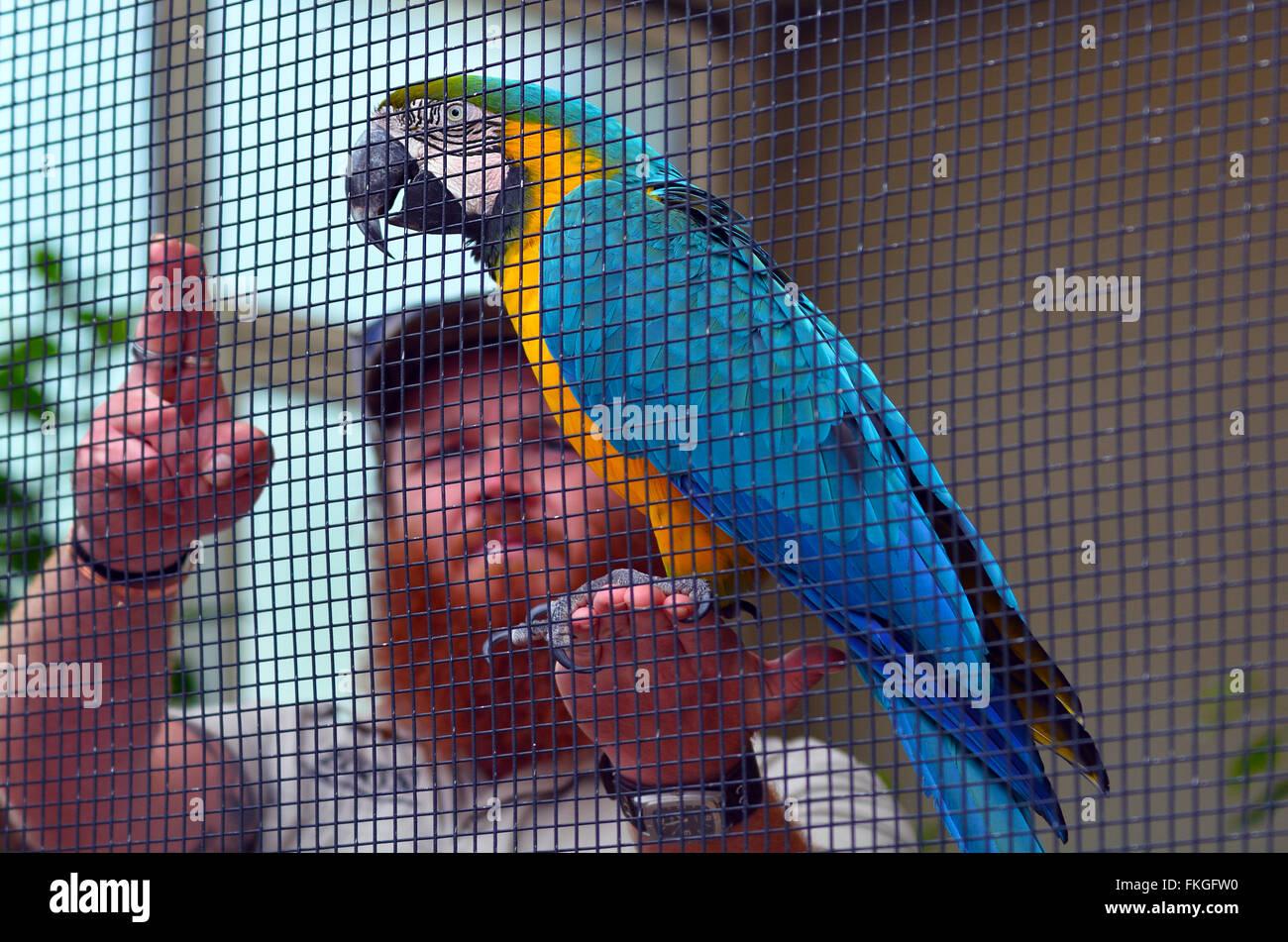 AUCKLAND - Jan 19 2015:Azul y Amarillo guacamayo (Ara ararauna) con un entrenador de aves. Ellos son muy populares Imagen De Stock