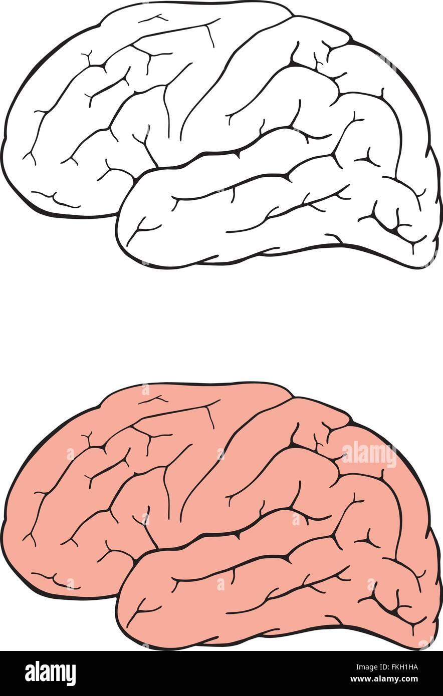 Dibujo del cerebro humano Imagen De Stock