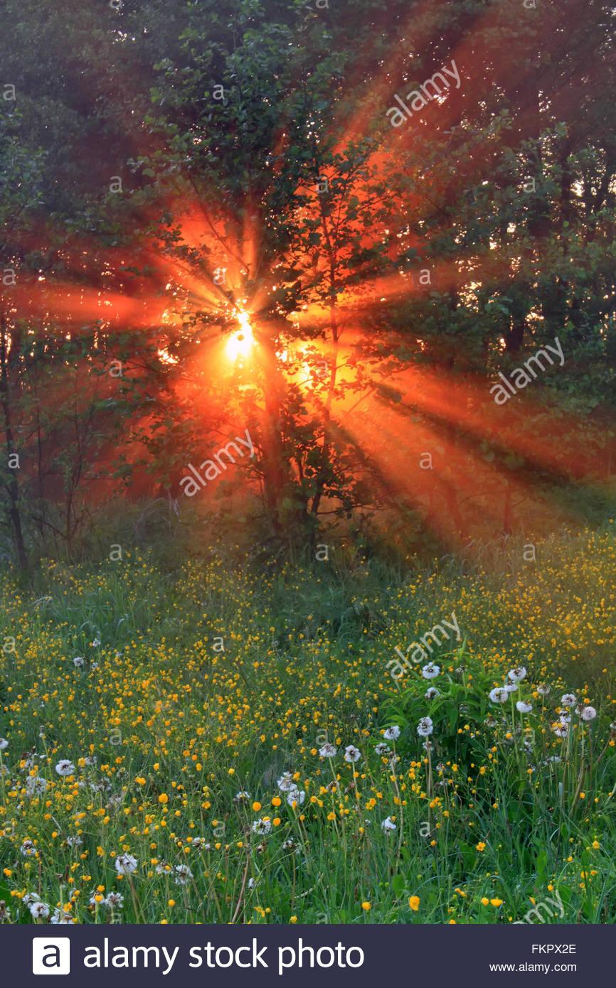 Impresionante bosque con blooming el diente de león en el sol de la mañana Imagen De Stock