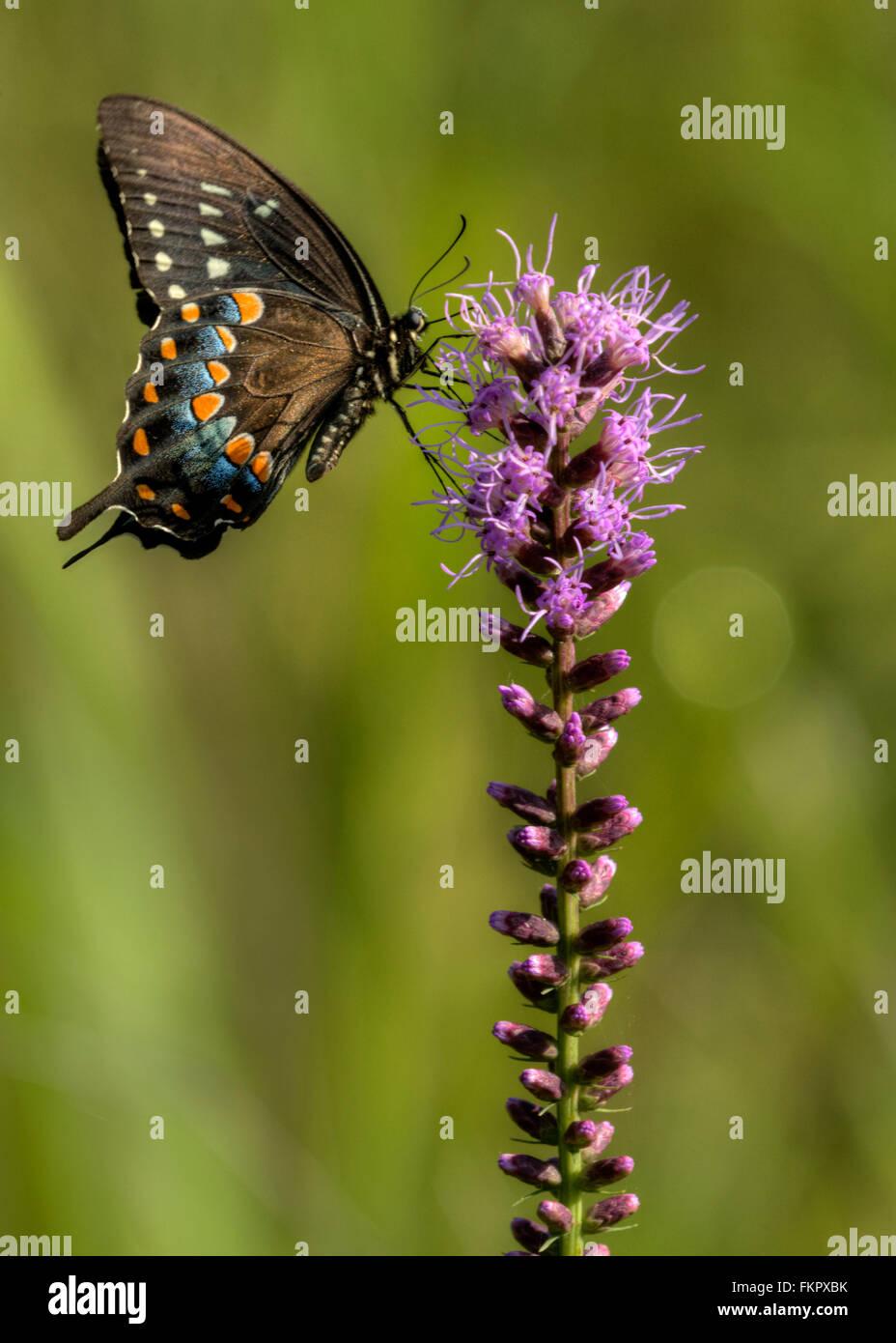 Spicebush especie (Papilio Troilo) en una deslumbrante estrella (Liatris spicata) Foto de stock