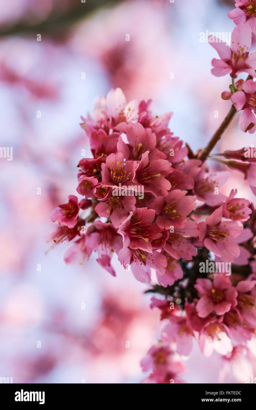 Fresco, árbol florece en primavera con flores de color rosa Imagen De Stock