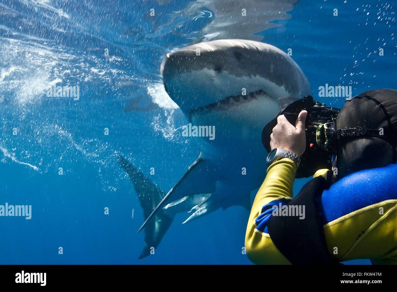 Gran tiburón blanco (Carcharodon carcharias) hacer un pase muy cerca mientras que el fotógrafo se inclina Imagen De Stock