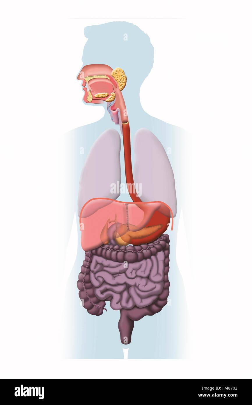 Diagrama que muestra el sistema digestivo de un ser humano ...