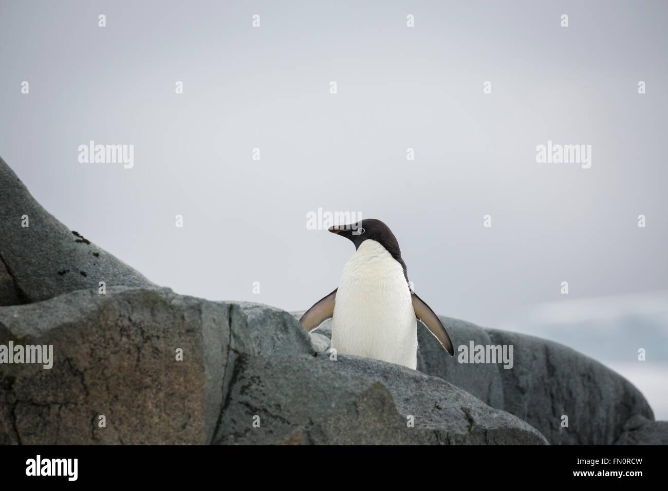 La Antártida, en la península Antártica, Isla Petermann, pingüinos Adelia. Imagen De Stock
