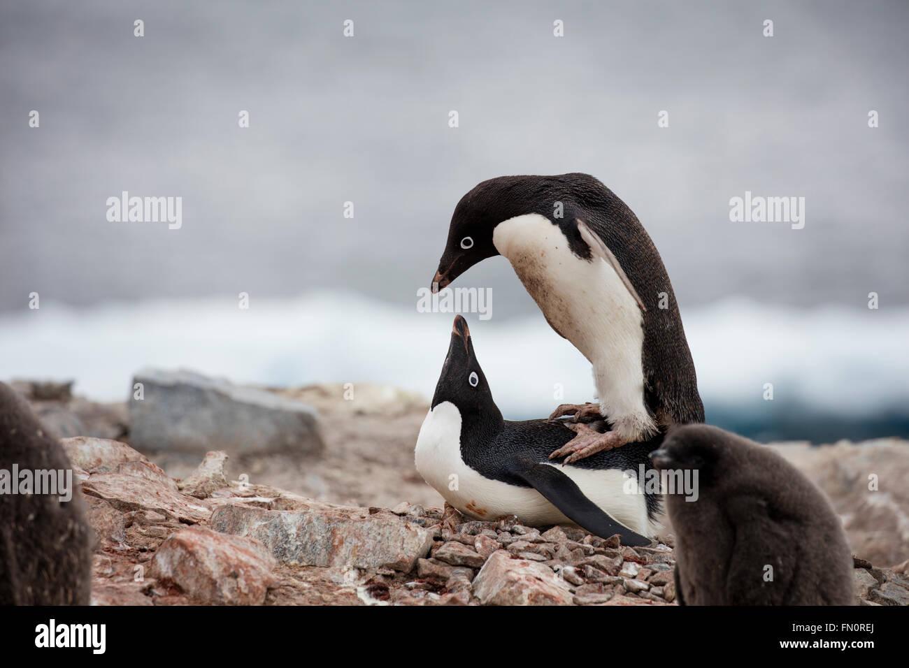 La Antártida, en la península Antártica, Isla Petermann, pingüinos Adelia, par de acoplamiento Imagen De Stock