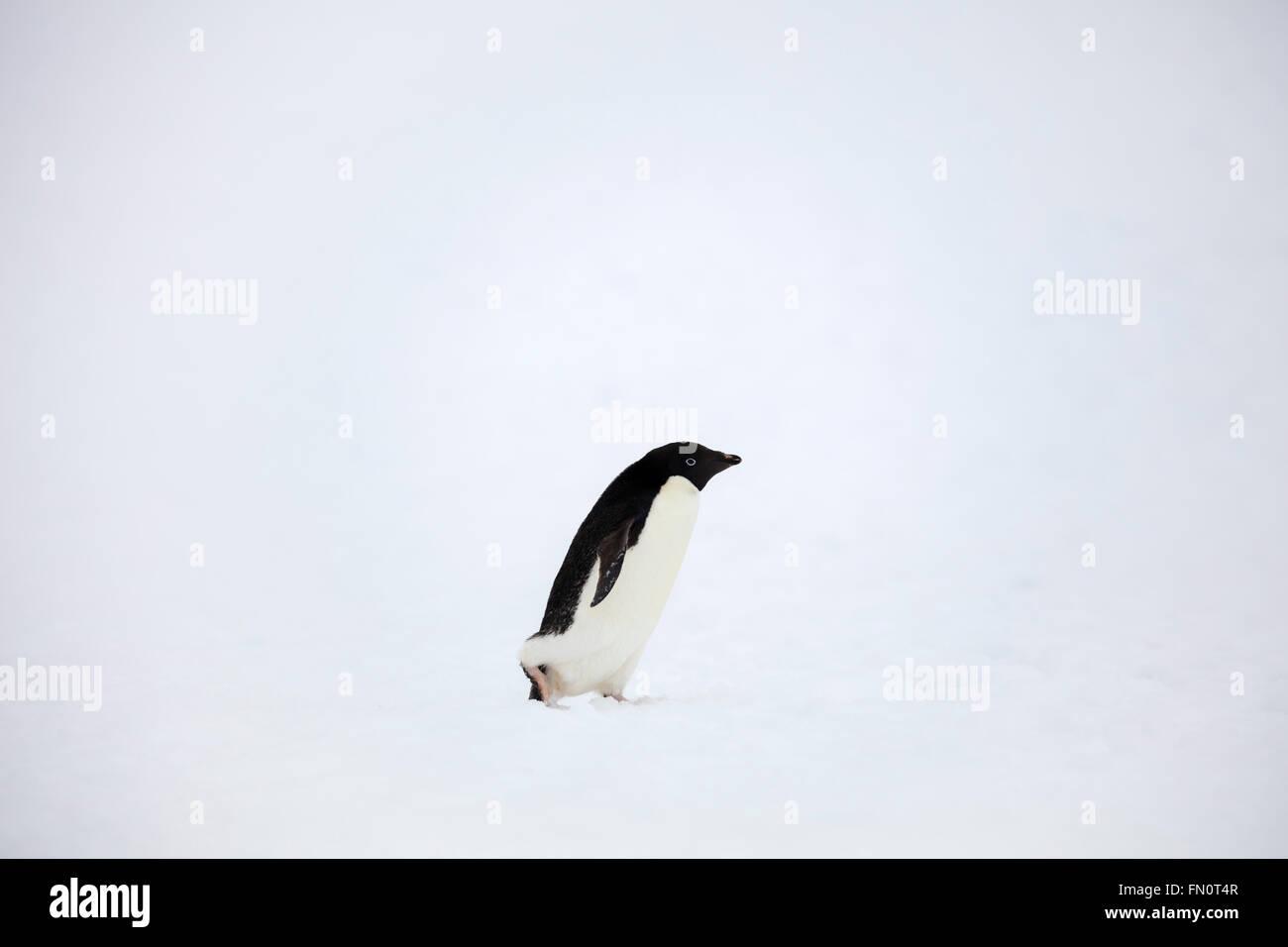 La Antártida, en la península Antártica, Isla Petermann, pingüinos Adelia, Imagen De Stock