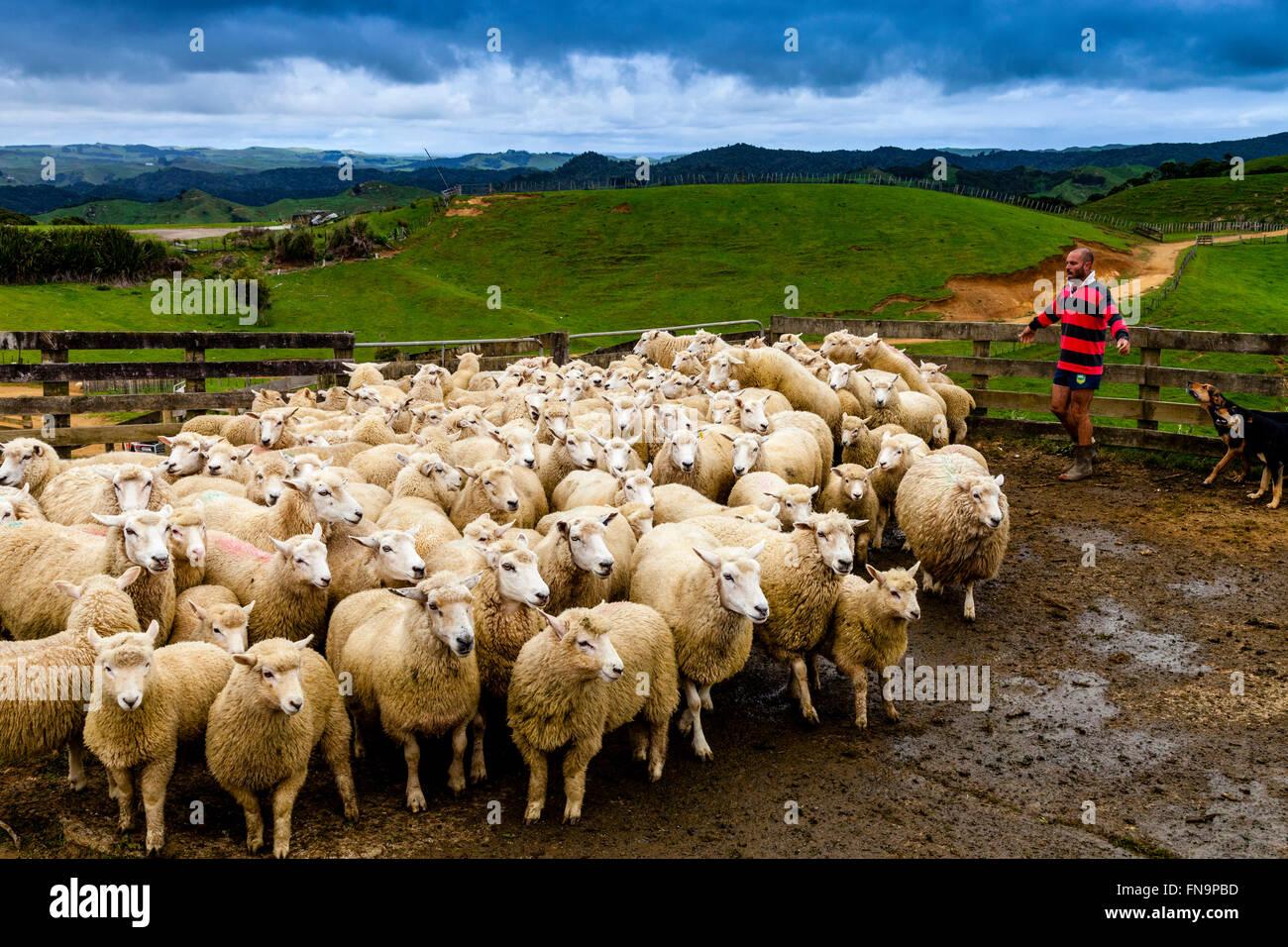 Ovejas en un corral de ovejas esperando a ser cortado, granja ovejera, pukekohe, Nueva Zelanda Foto de stock