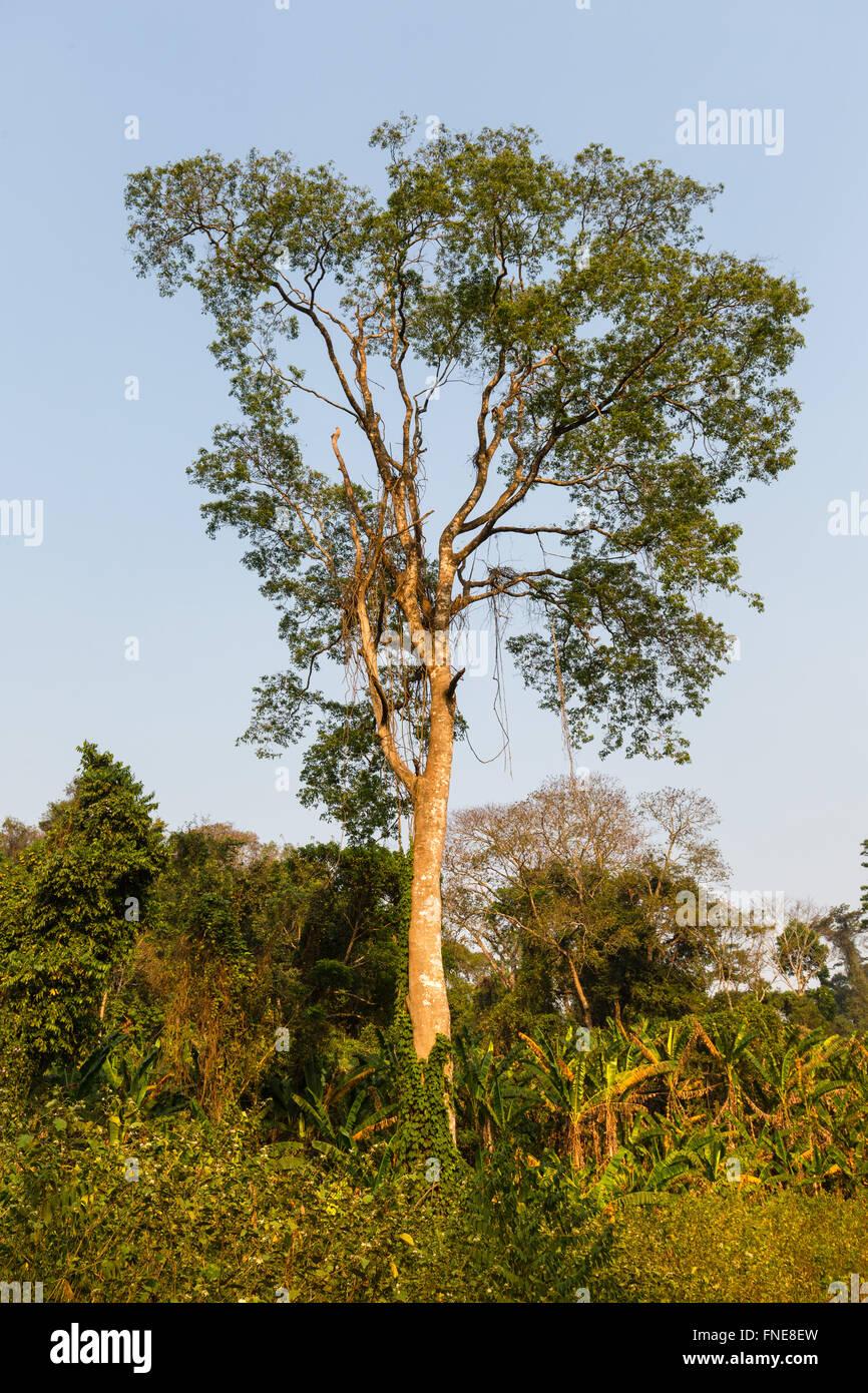 La vegetación tropical, bosque, selva, selva tropical Senmonorom, Sen Monorom, provincia de Mondulkiri, Camboya Imagen De Stock