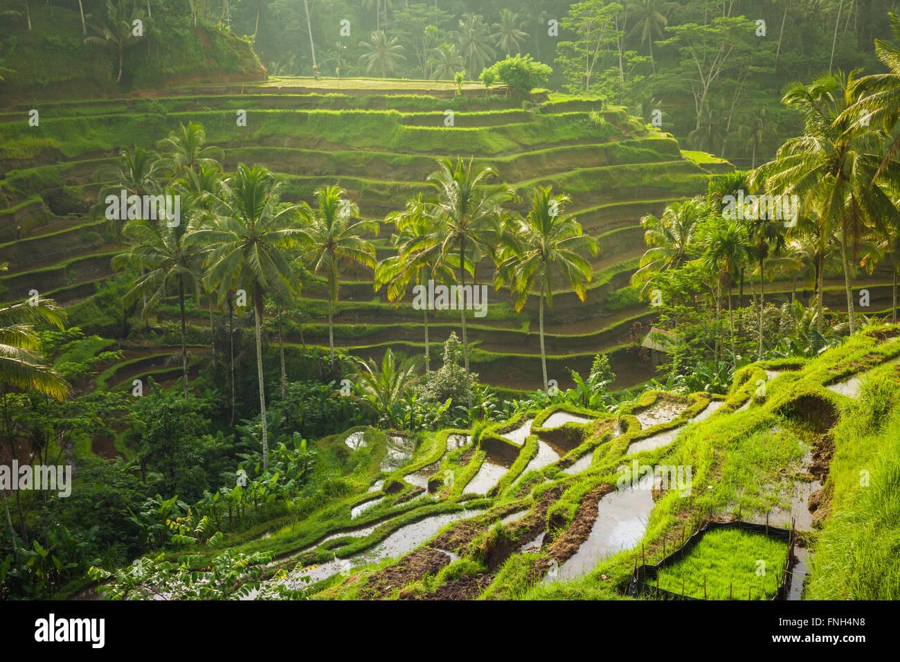 Hermosas terrazas de arroz en las mañanas la luz cerca de Tegallalang village, Ubud, Bali, Indonesia. Imagen De Stock