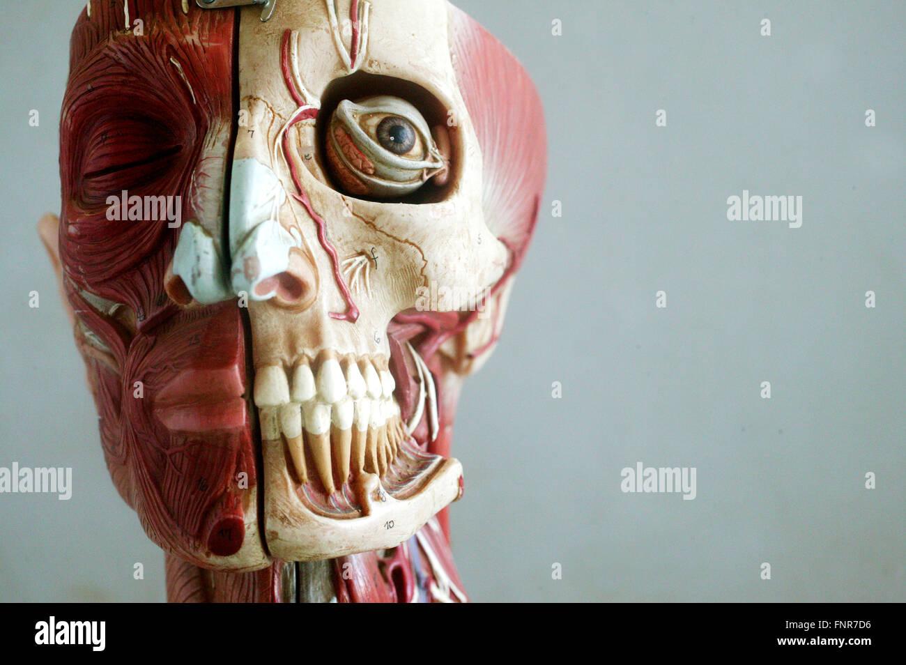 Modelo anatómico mostrando las estructuras musculares y óseas de la cara. Imagen De Stock