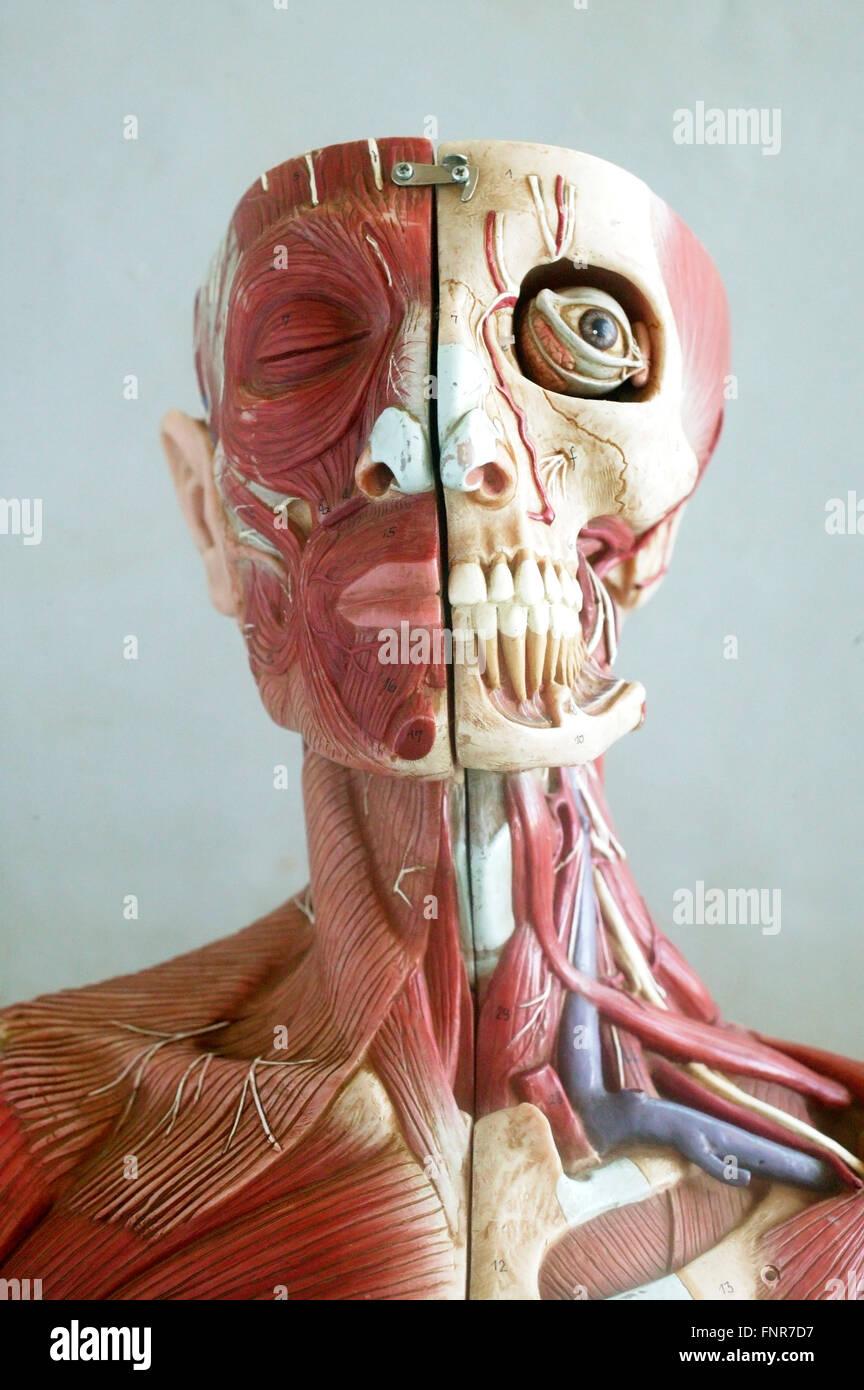 Modelo anatómico mostrando las estructuras musculares y óseas de la cara y el cuello. Imagen De Stock