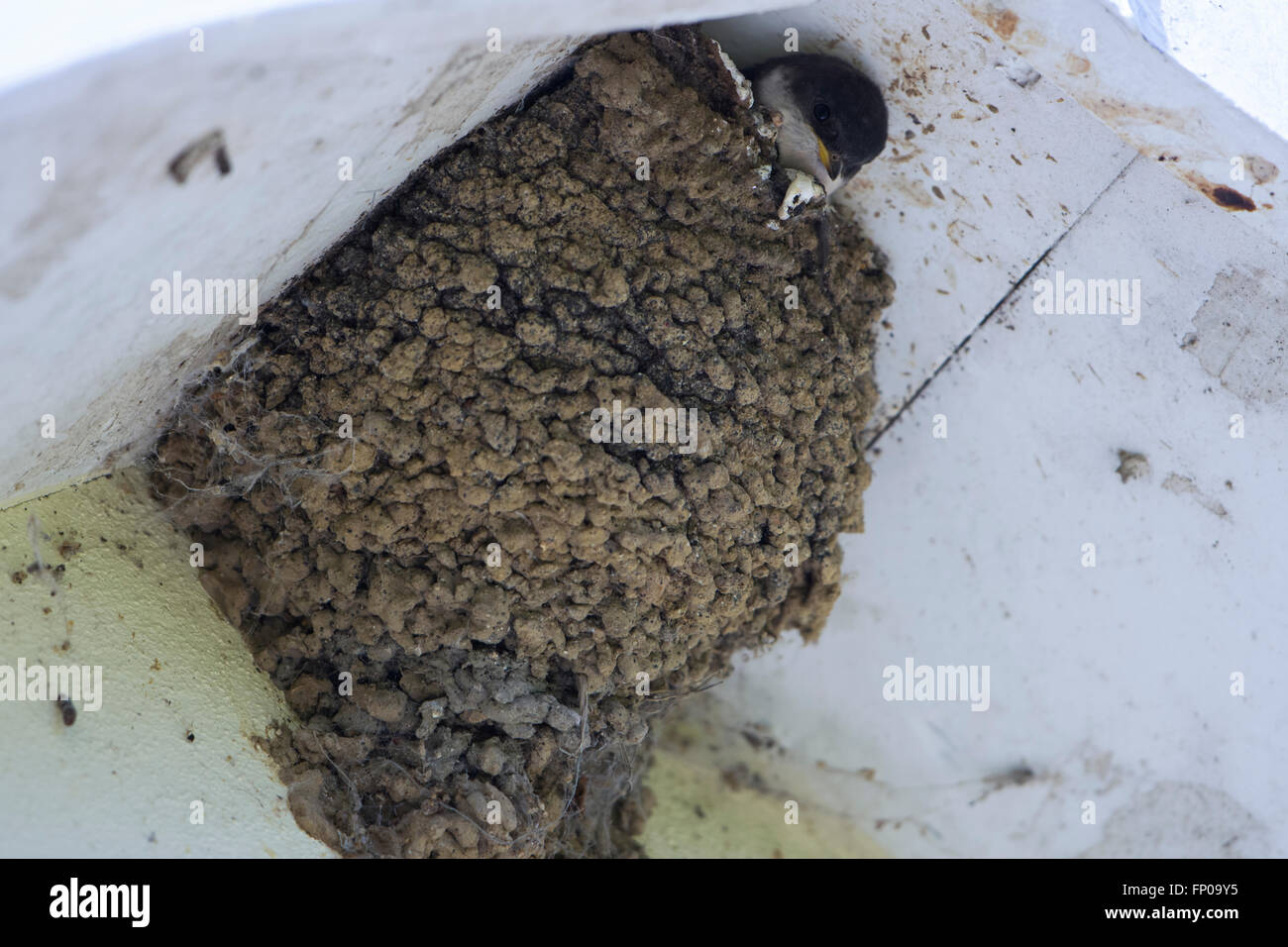 Una casa Martin (Delichon urbicum) visitas el nido bajo el alero de una casa donde un pájaro joven sobresale es cabeza. Foto de stock