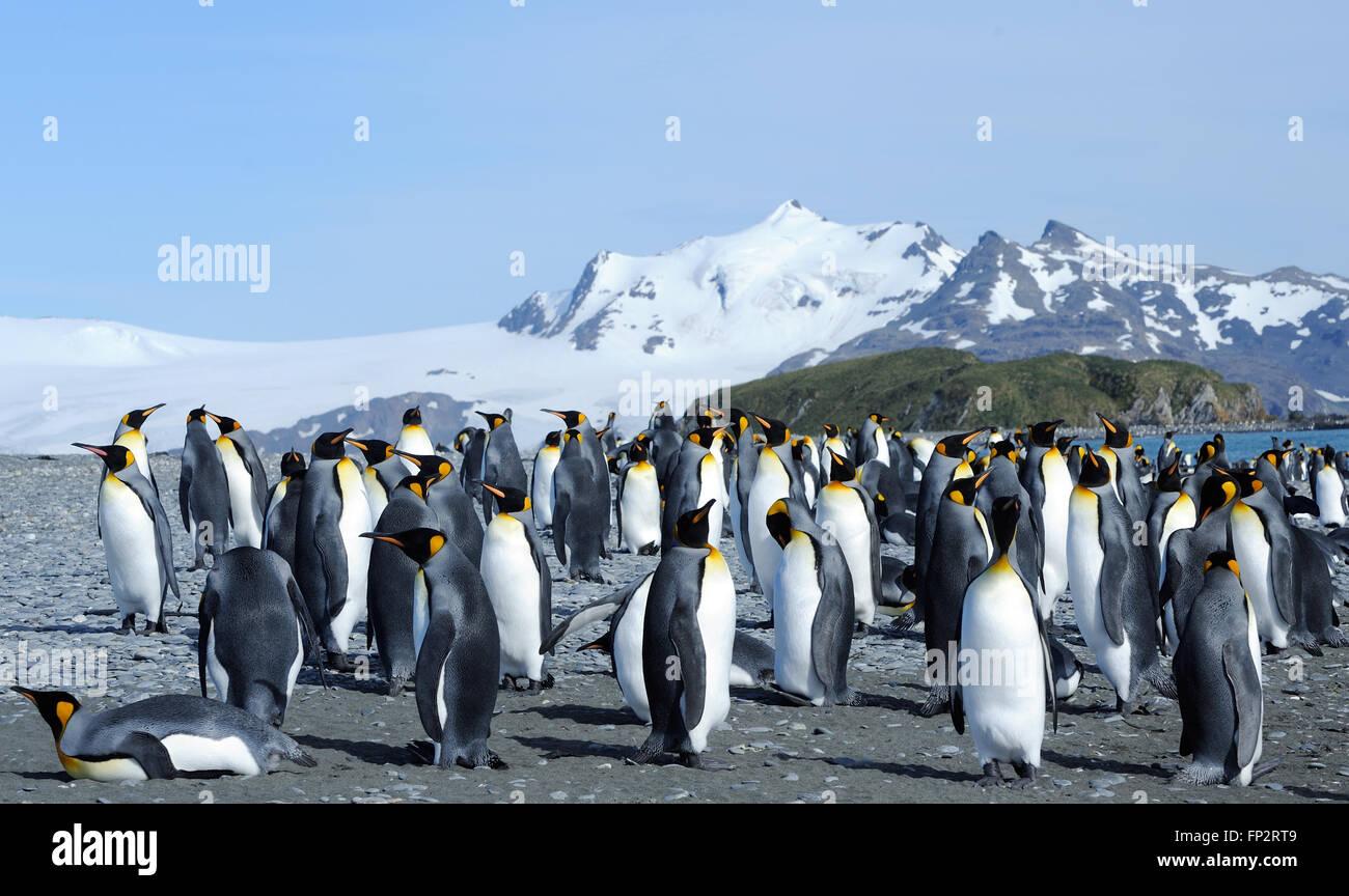 Pingüinos rey (Aptenodytes patagonicus) en la playa cerca de su colonia de anidación. La llanura de Salisbury, Bahía de Islas Georgia del Sur. Foto de stock