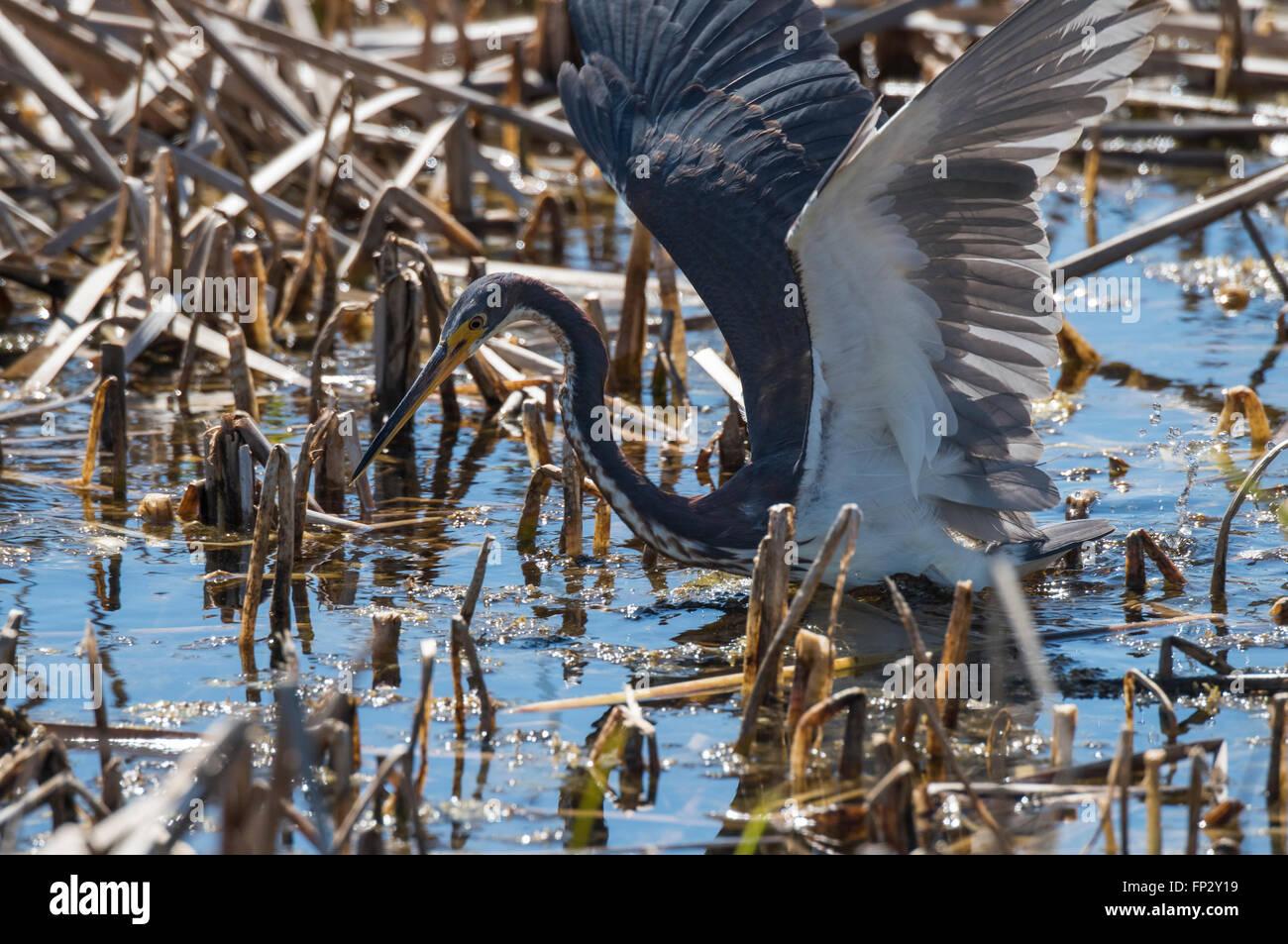 Tri color Heron la alimentación activa en Marsh cañas Imagen De Stock