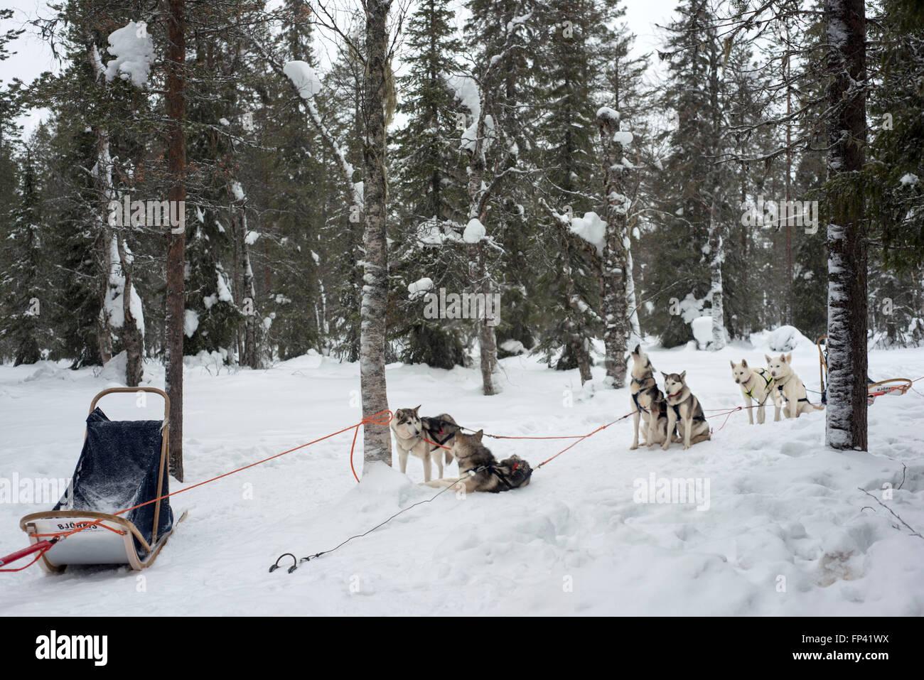 Salla husky safari. En Laponia, Finlandia. Antes del safari nuestro guía le dará una lección de conducción y decirles cómo manejar el Foto de stock