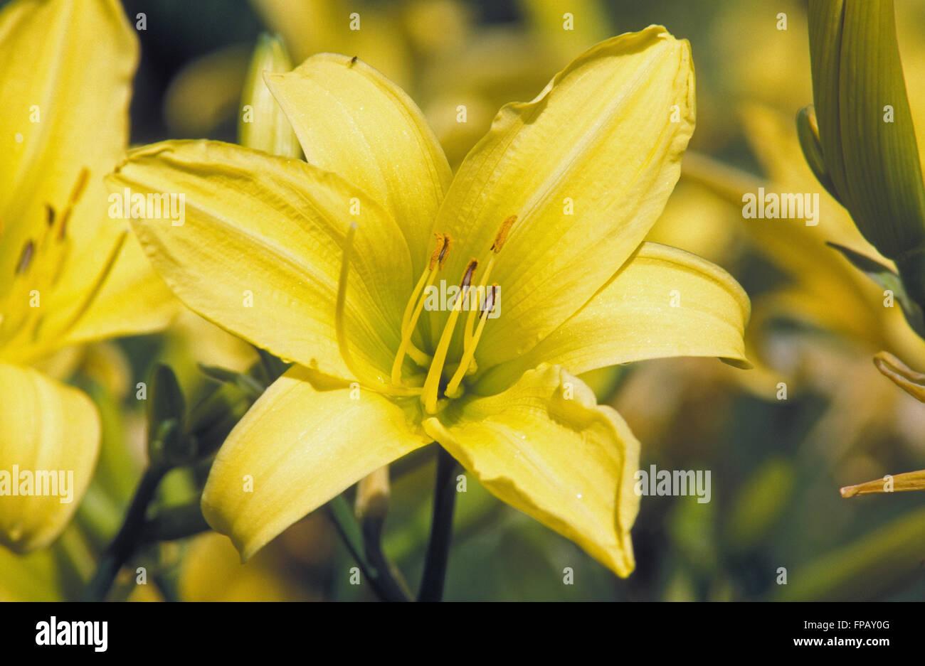 Los lirios de día (Hemerocallis) Foto de stock