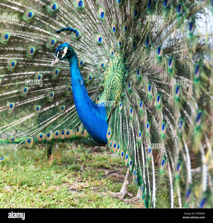 Cerrar vista lateral de una iridiscente azul pavo real macho cortejando en una pantalla con sus plumas de cola planteadas en un ventilador Foto de stock
