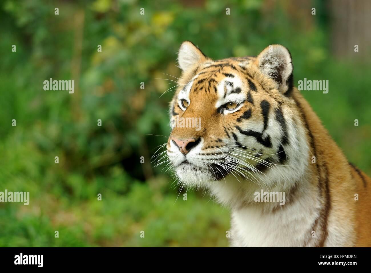 Close-up hermoso tigre en hierba Imagen De Stock