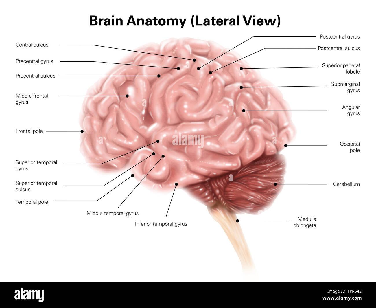Anatomía del cerebro humano, vista lateral. Imagen De Stock