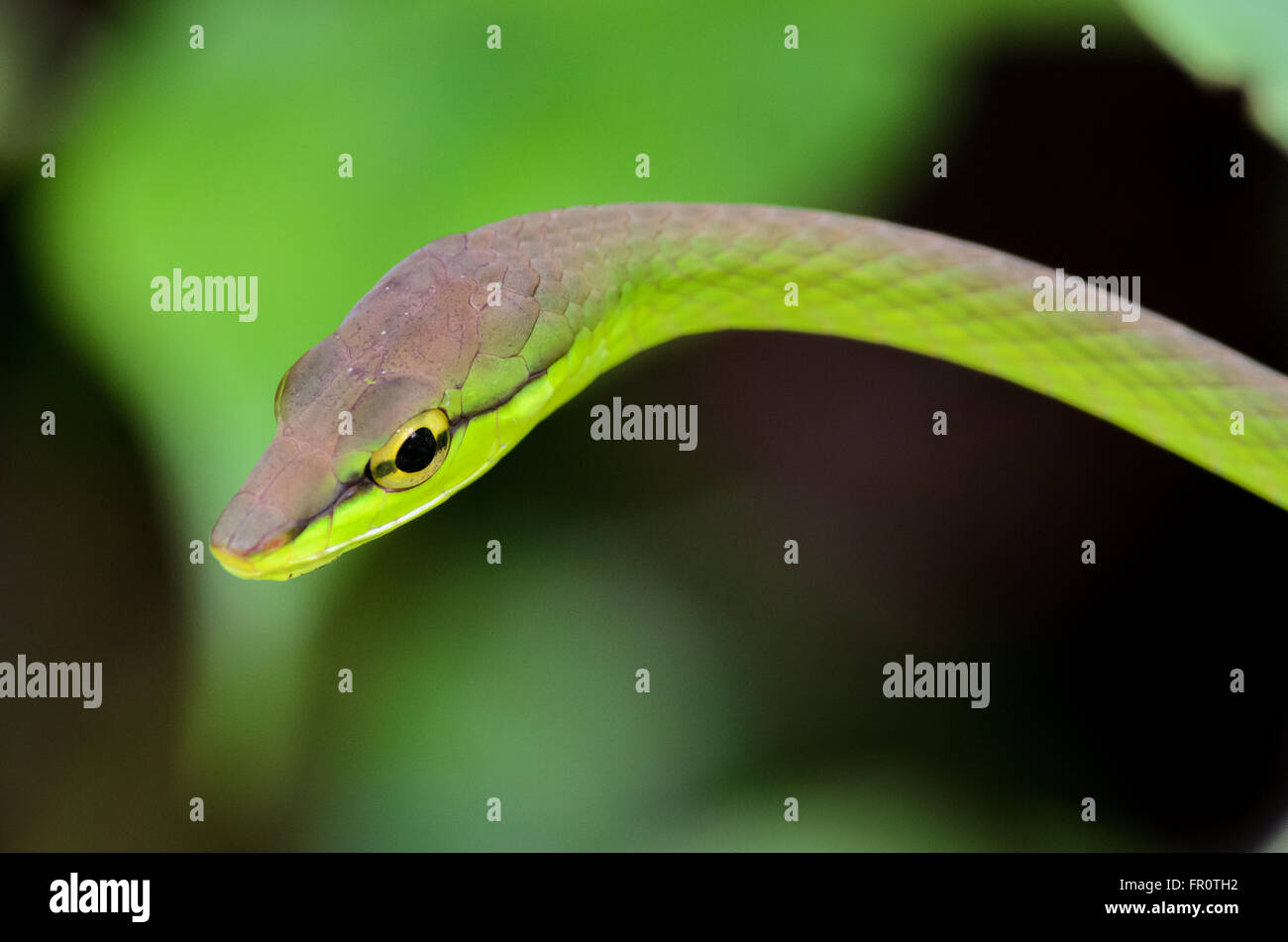 La Viña de Cope Snake (Oxybelis brevirostris), Rara Avis Reserva, Costa Rica Foto de stock