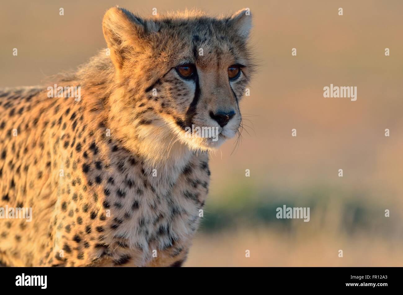 Joven guepardo (Acinonyx jubatus), alerta, en la luz de la tarde, el Parque Transfronterizo Kgalagadi, Northern Imagen De Stock