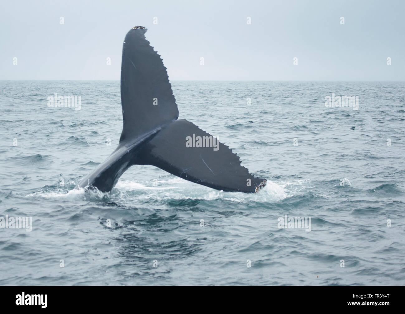 Cola de ballena jorobada buceando en el océano Imagen De Stock