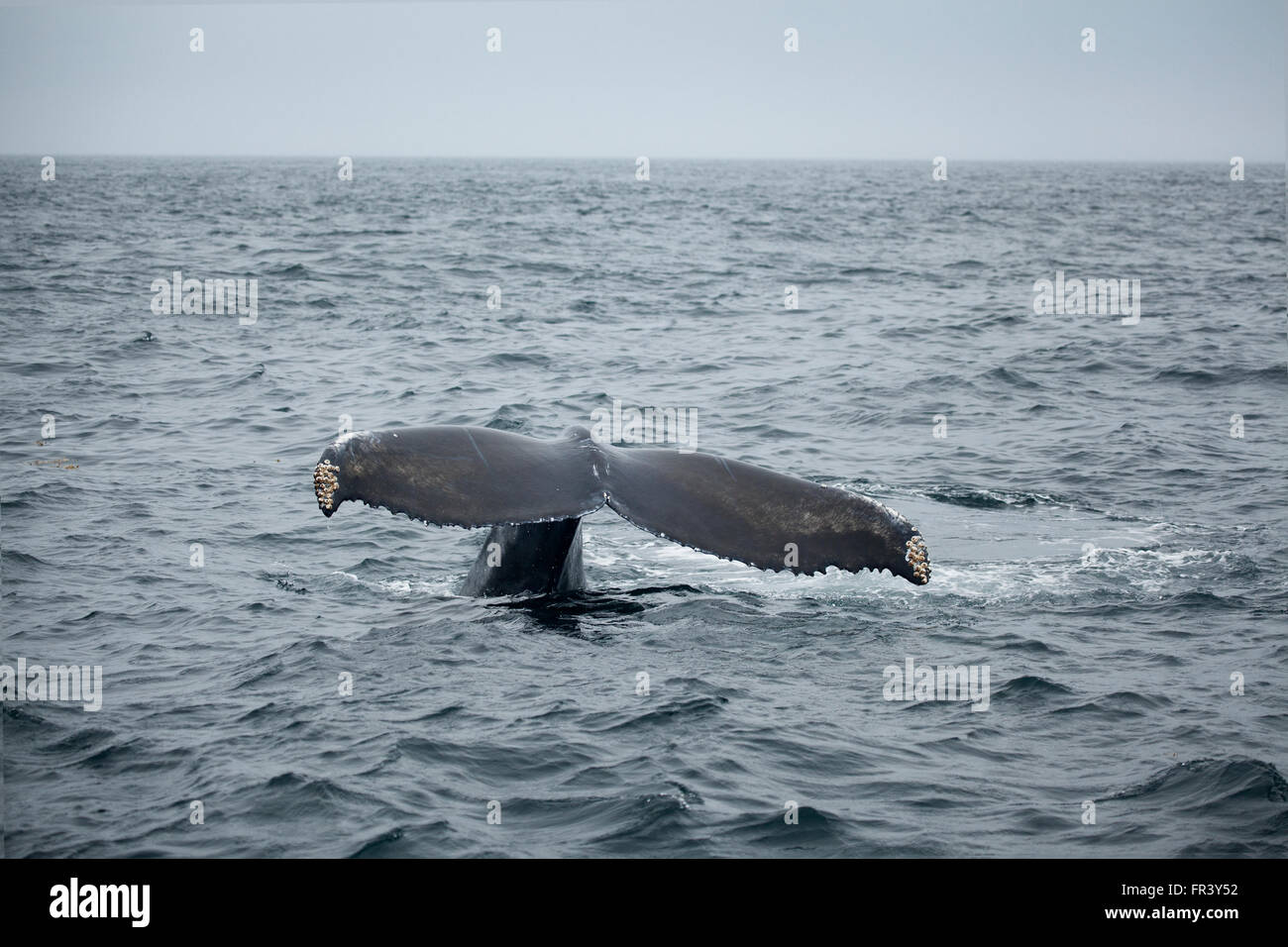 Cola de ballena jorobada. Foto de stock