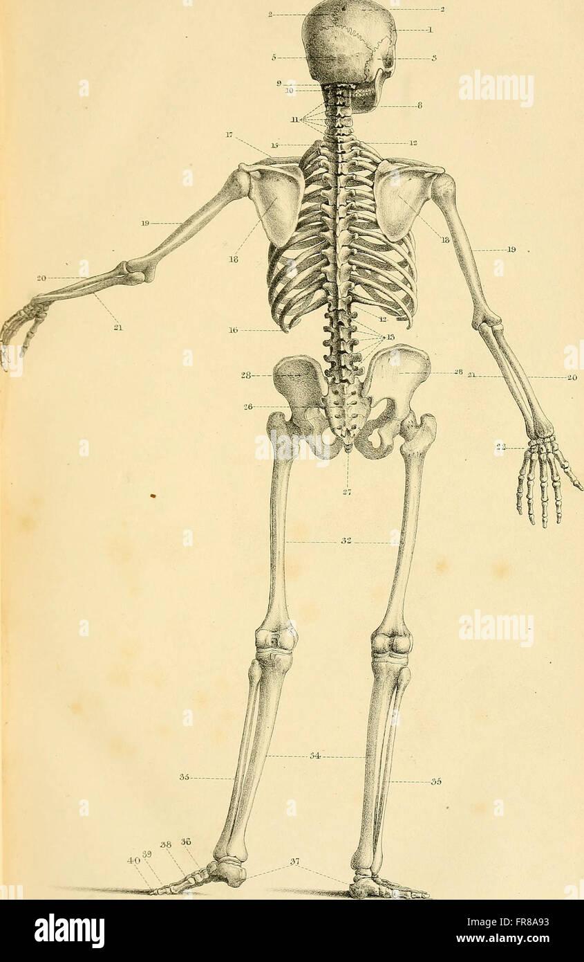 Encantador Anatomía Y Fisiología Esencial Composición - Imágenes de ...