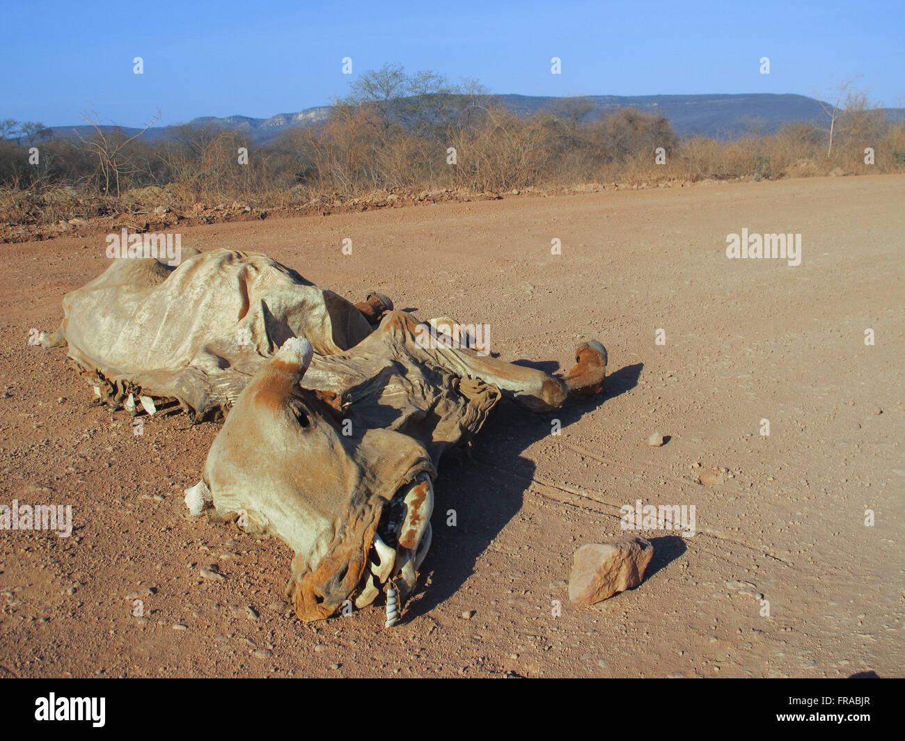 El ganado muerto en la zona afectada por la sequía en el noreste backlands Imagen De Stock