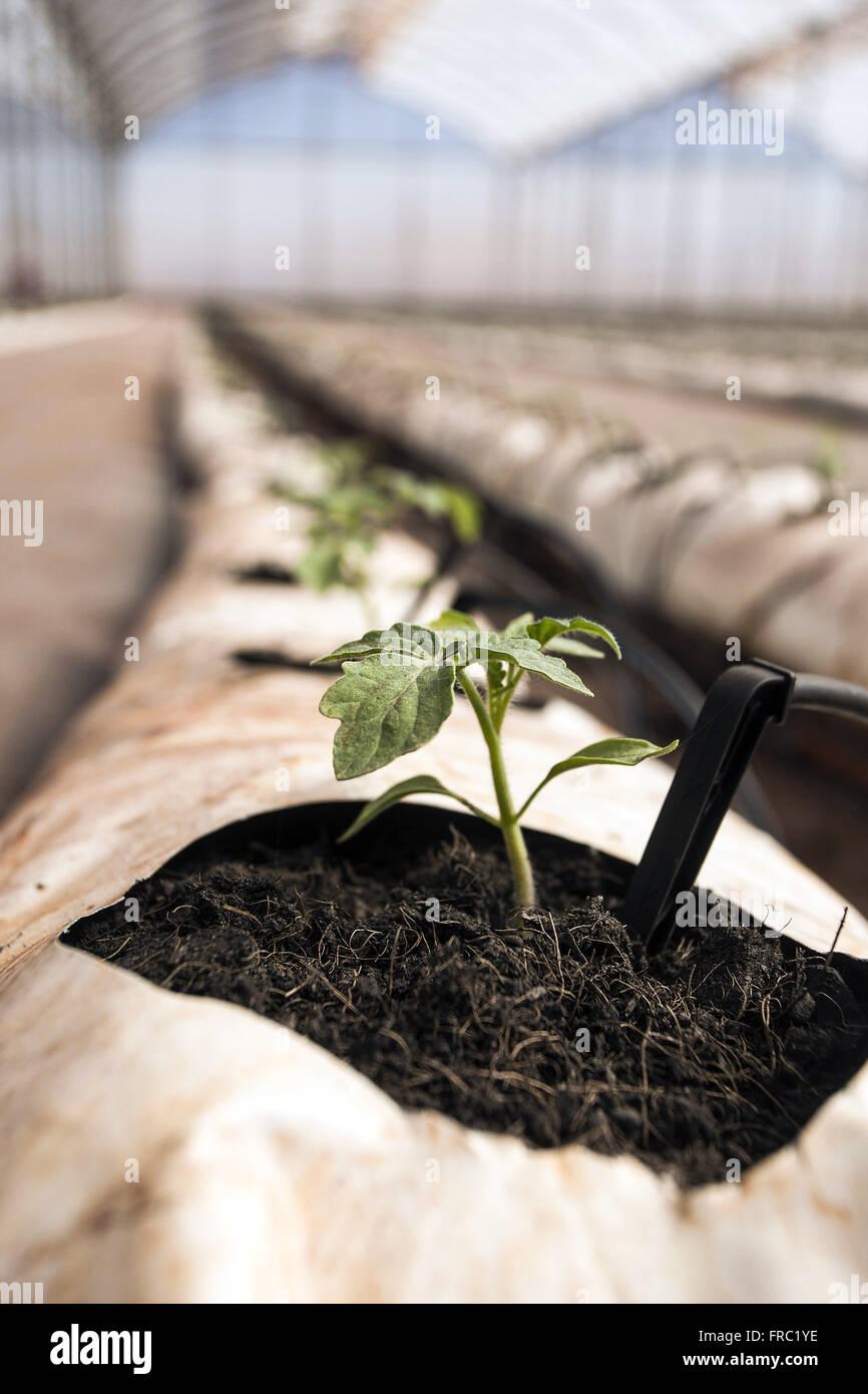 Los cambios orgánicos de tomate en invernadero de alta tecnología en el campo Imagen De Stock