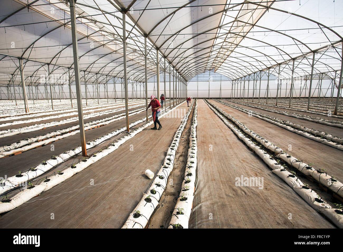 Plantación orgánica de tomate en invernadero de alta tecnología en el campo Imagen De Stock