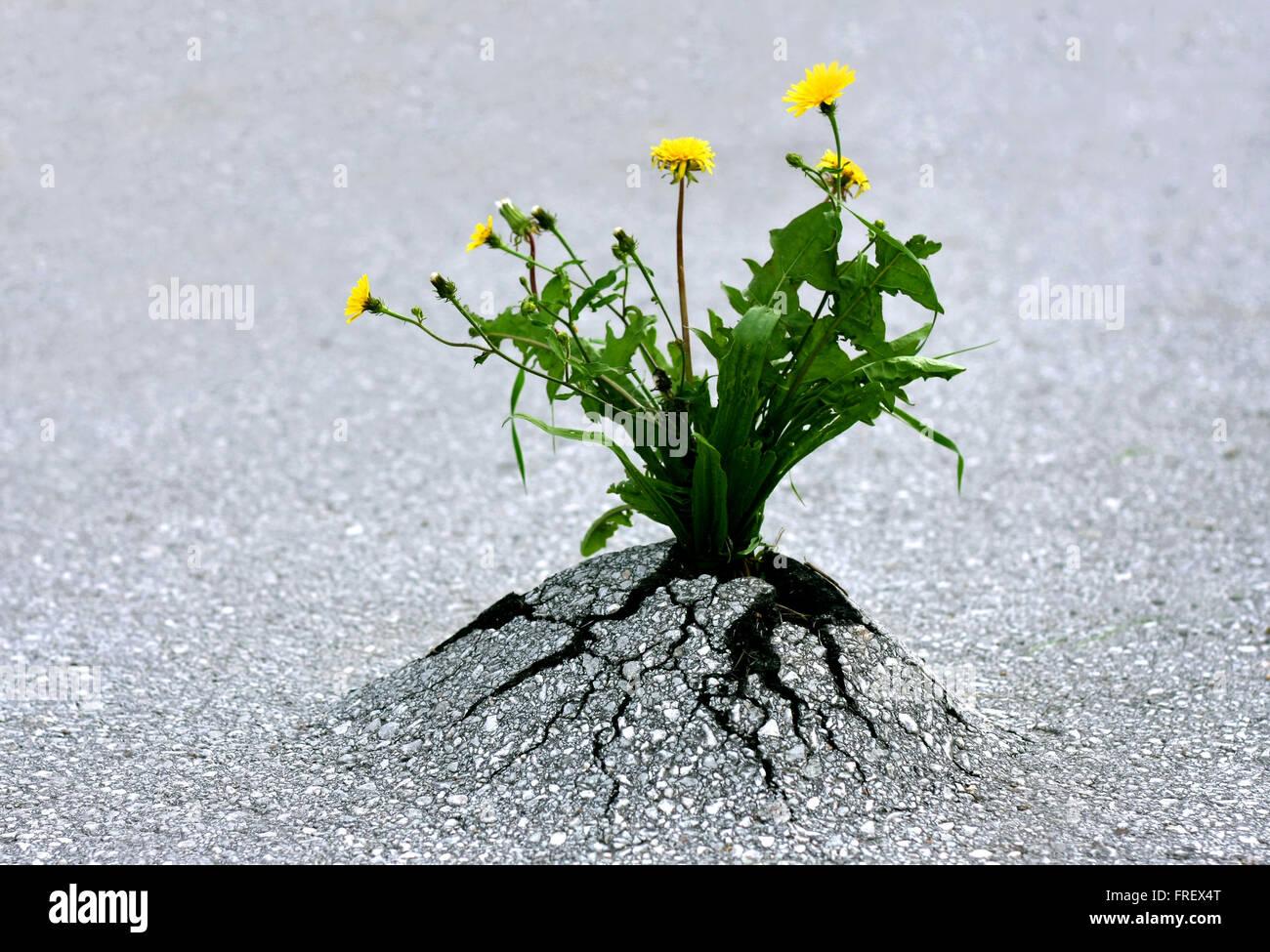 Las plantas nuevas a través de rock duro asfalto. Ilustra la fuerza de la naturaleza y de increíbles logros contra Foto de stock