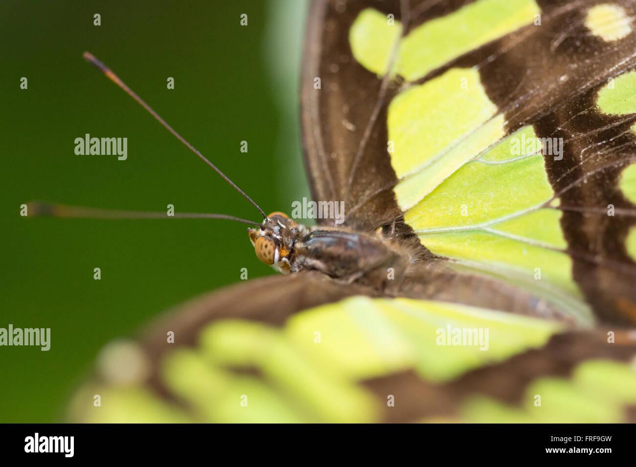 Siproeta Stelenes. Las mariposas de Malaquita. Foto de stock