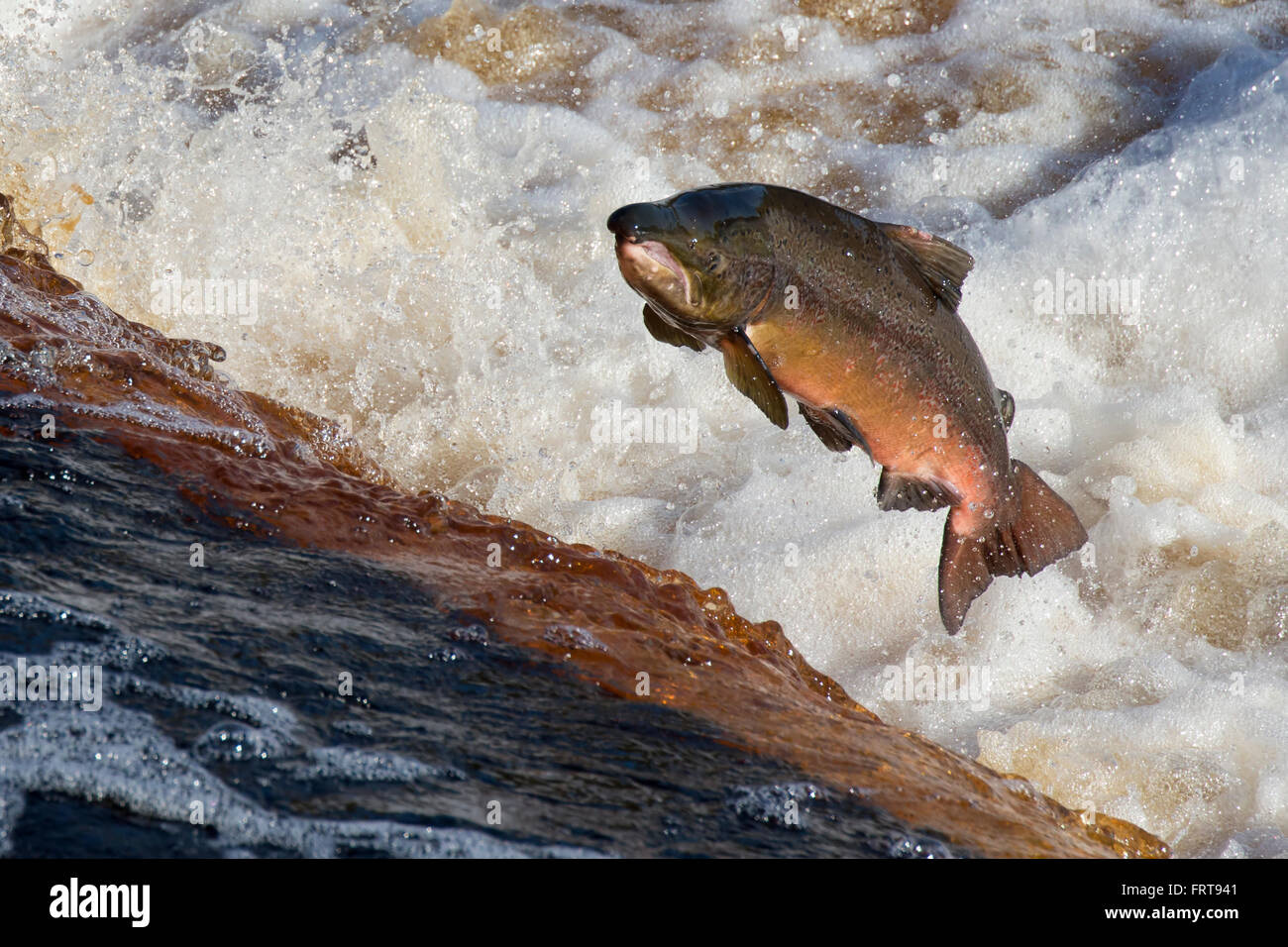 Salmón del Atlántico (Salmo salar) saltando weir sobre migración aguas arriba, el río Tyne, Imagen De Stock