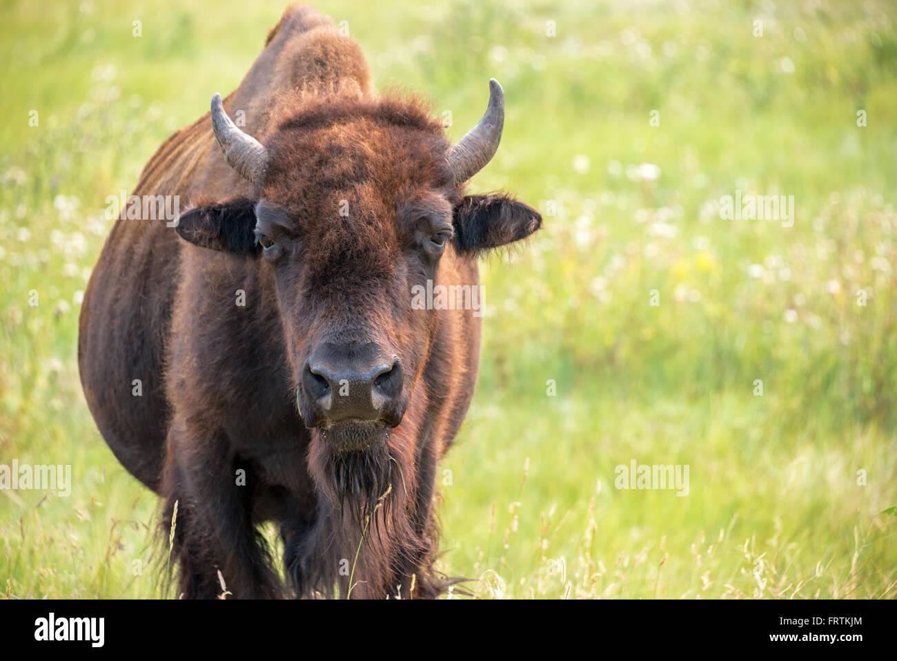 Primer plano de un búfalo en el Parque Estatal Custer en las Colinas Negras de Dakota del Sur mirando la cámara Imagen De Stock