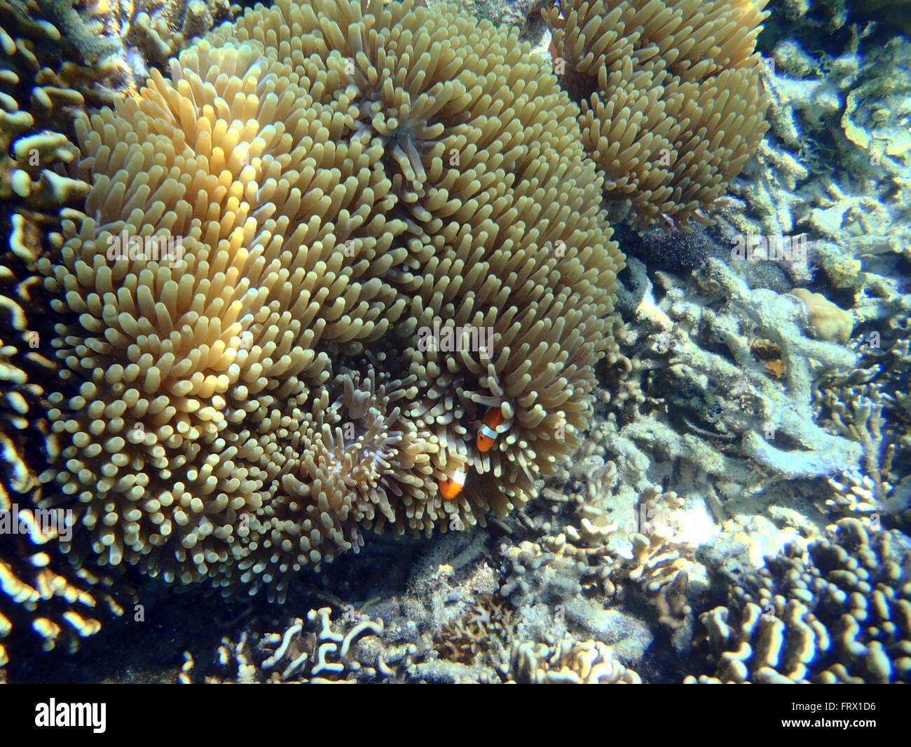 Coloridos arrecifes de coral en el fondo del mar tropical, submarino Foto de stock