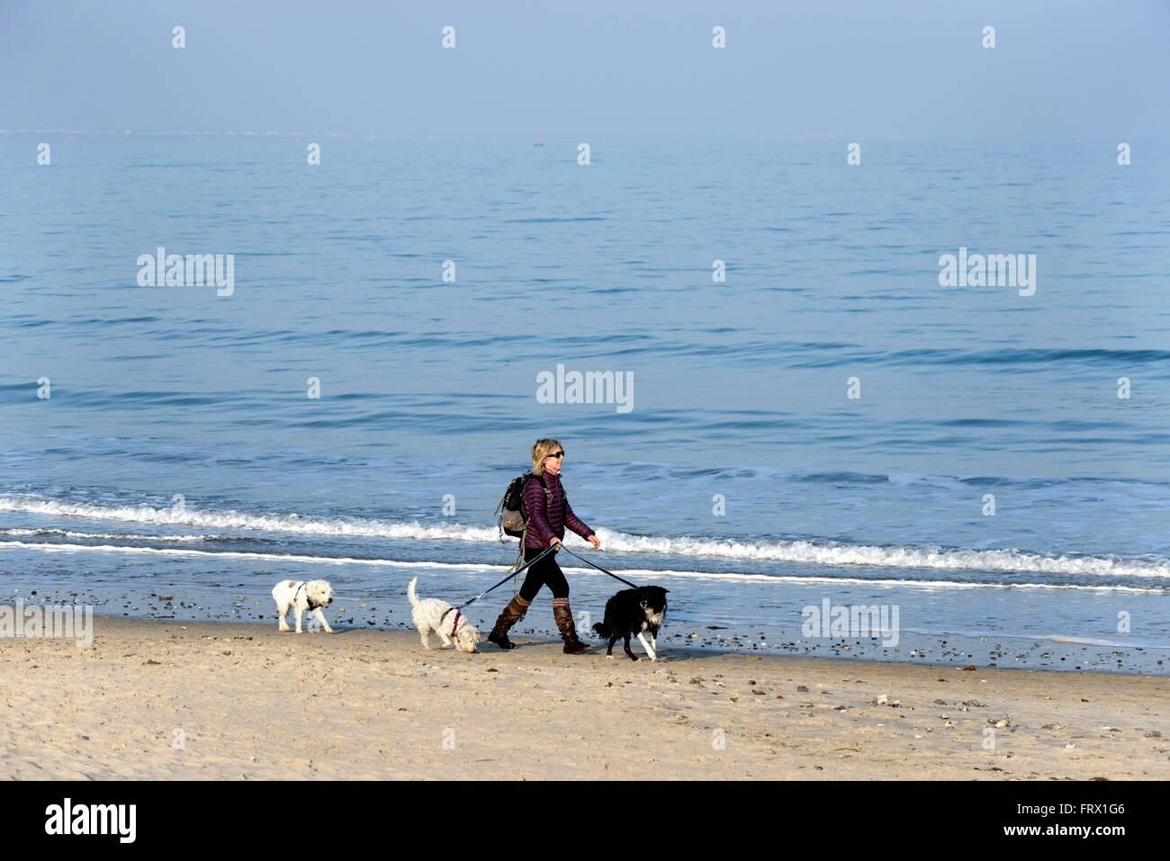 Perrita Walker en la playa en la Bahía de Studland Dorset UK Foto de stock