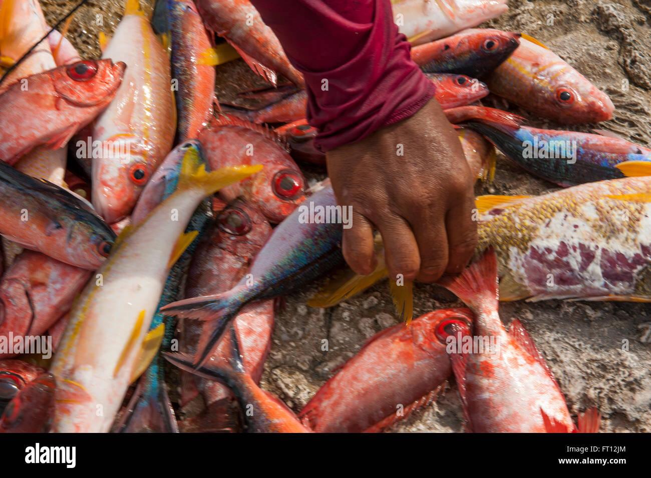 Llegar a mano de coloridos peces en venta en un mercado de pescado, Makemo, las Islas Tuamotu, en la Polinesia Francesa, Pacífico Sur Foto de stock