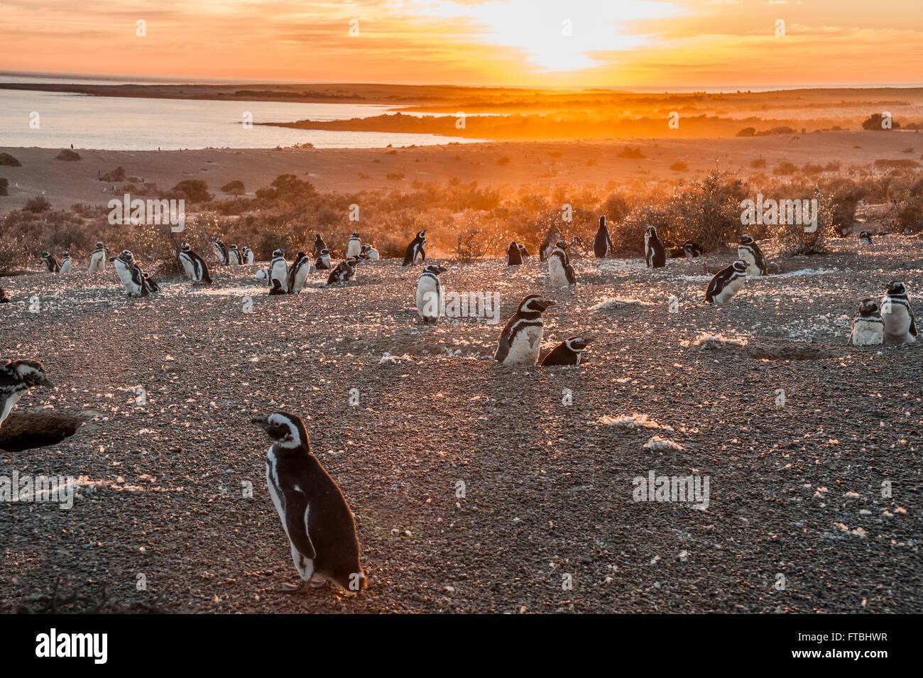 Los pingüinos magallánicos, temprano por la mañana en Punta Tombo, Patagonia, Argentina Imagen De Stock