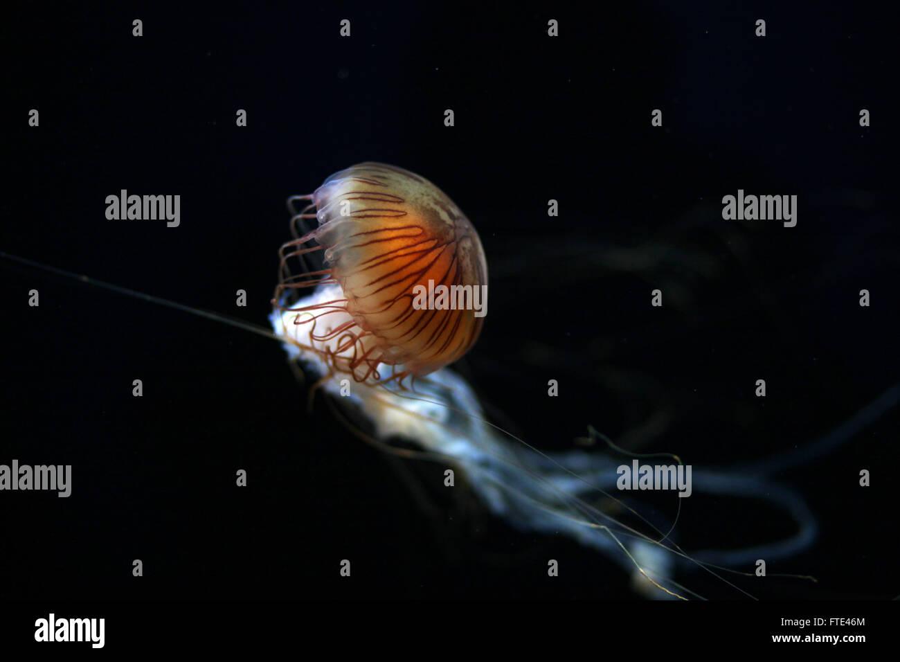 Las células punzante y veneno de la brújula medusas pueden producir weals duradero en los seres humanos Imagen De Stock