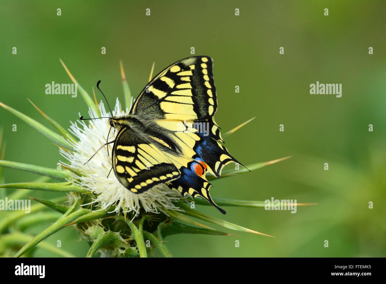 Especie de mariposa Papilio machaon - - en una espina flor Foto de stock