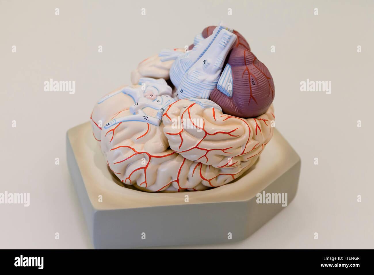 Modelo de cerebro humano - EE.UU. Imagen De Stock