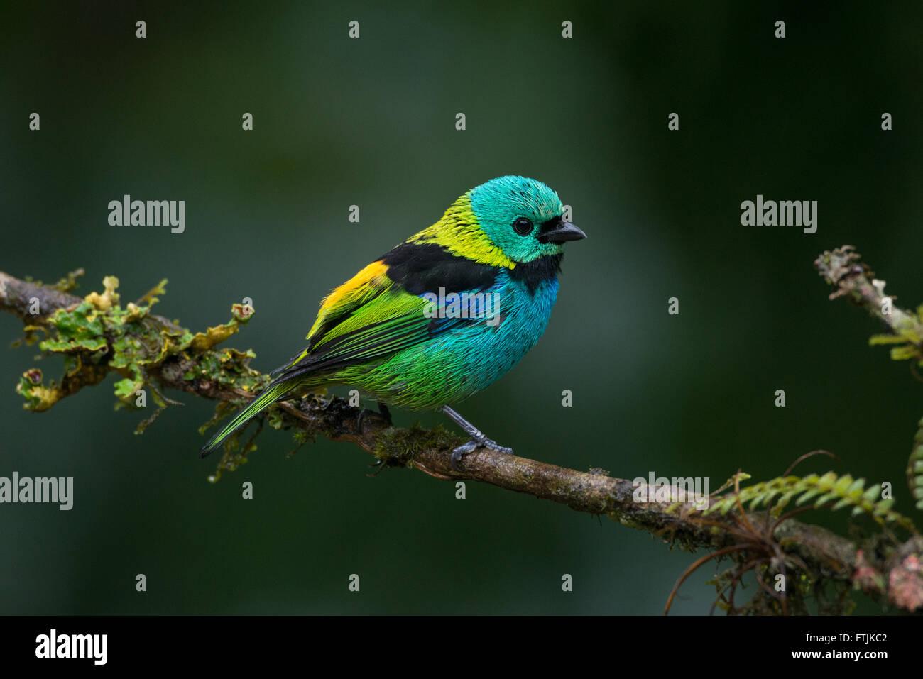 Un verde-encabezada Tanager desde la Selva Atlántica del Brasil Imagen De Stock