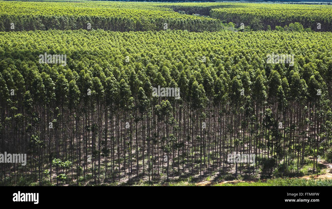 Bosque de eucaliptos empresas productoras de pulpa y papel Foto de stock