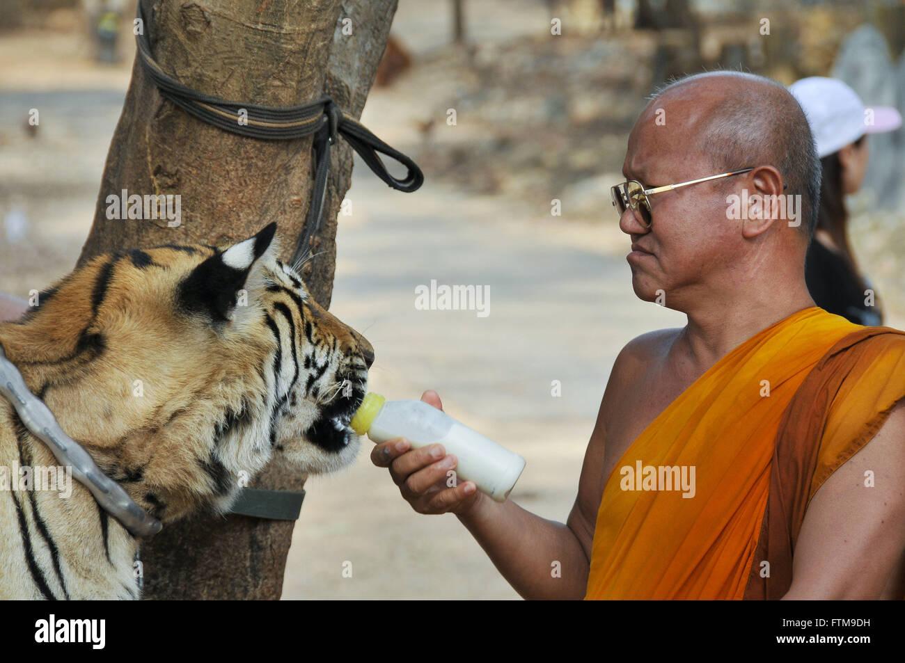 Monje dando biberón para el Templo del Tigre tigres en la ciudad de Sai Yok en Tailandia Foto de stock