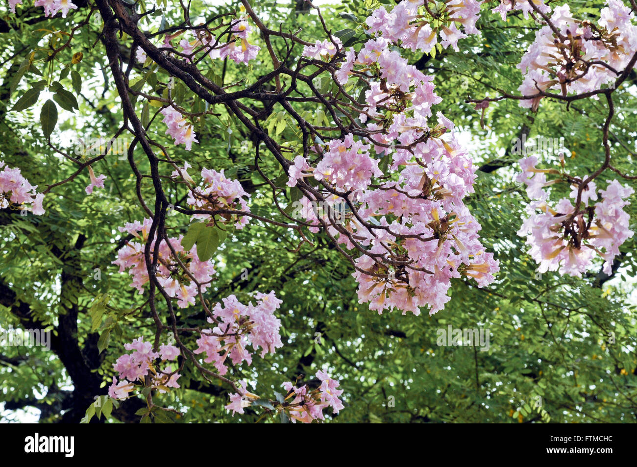 Rosa florido Ipe Imagen De Stock
