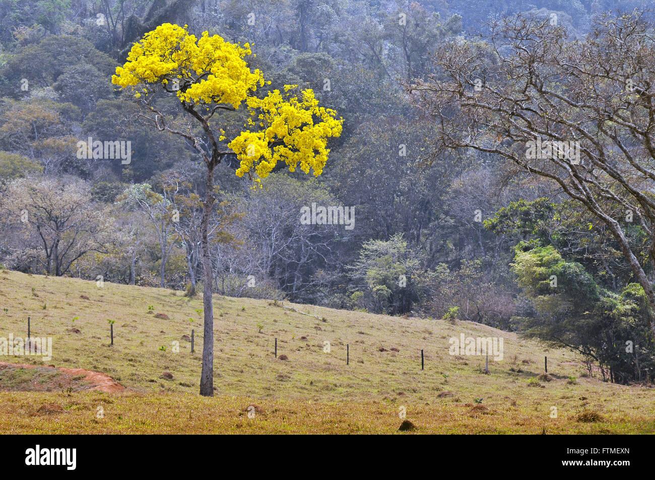 Ipe amarillo florido Imagen De Stock
